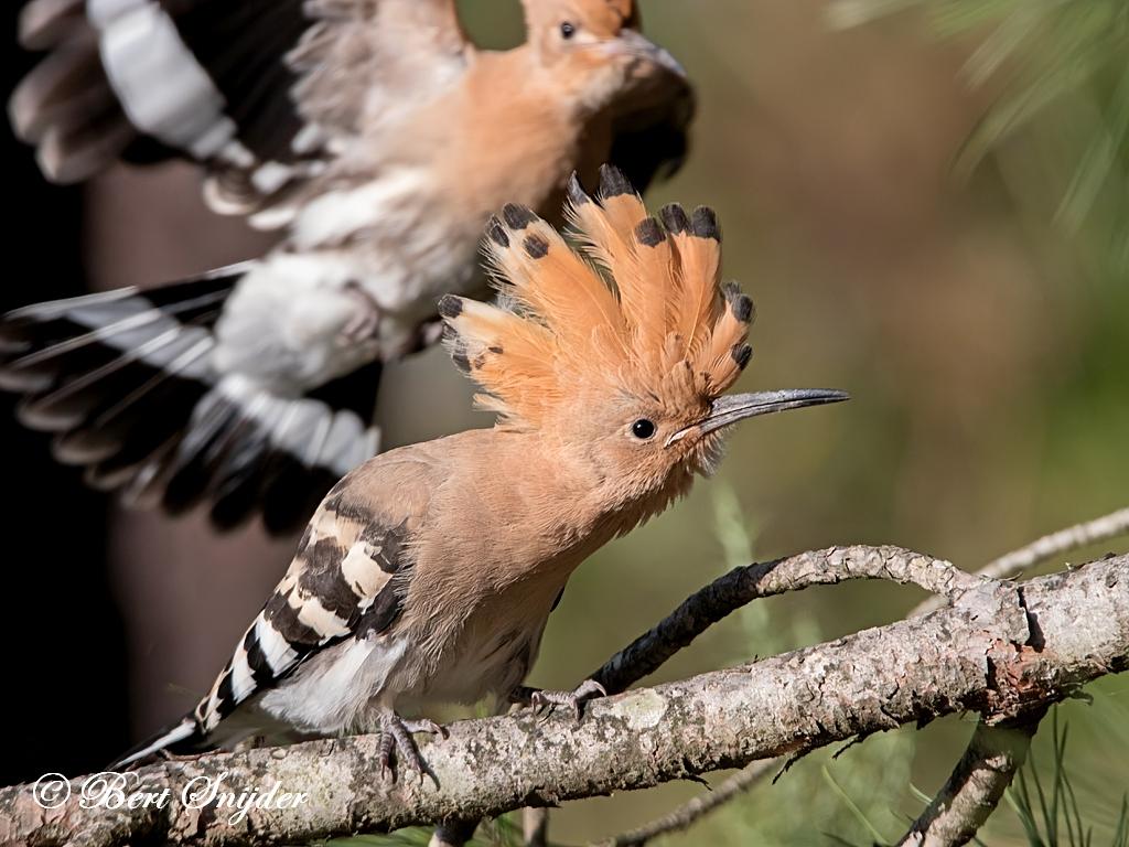 Hoopoe Birding Portug