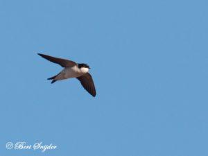 House Martin Birding Portugal