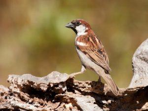 House Sparrow Birding Portugal