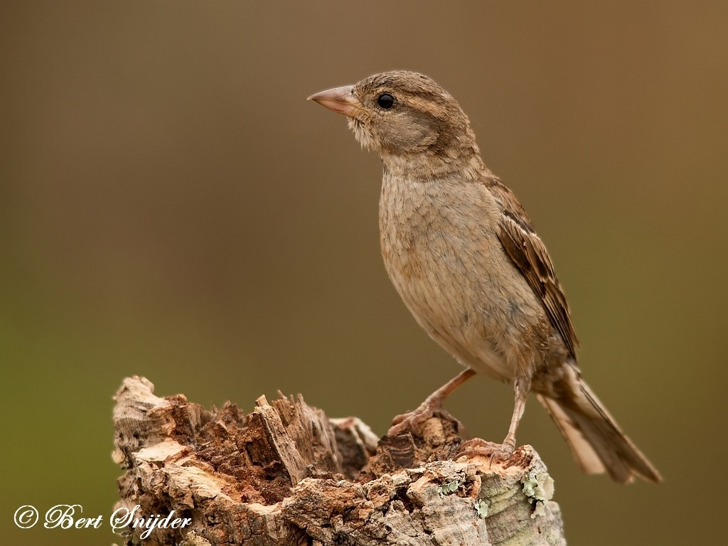House Sparrow Bird Hide BSP1 Portugal