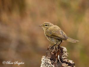 Iberian Chiffchaff Birding Portugal