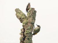 Iberian Green Woodpecker Bird Hide Portugal