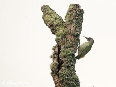 Iberian Green Woodpecker Birding Portugal