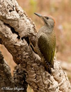 Iberian Green Woodpecker Birding Portugal