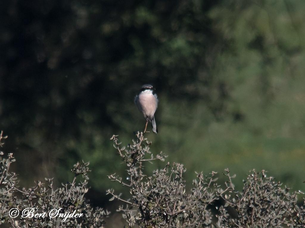 Iberian Grey Shrike Bird Hide BSP5 Portugal