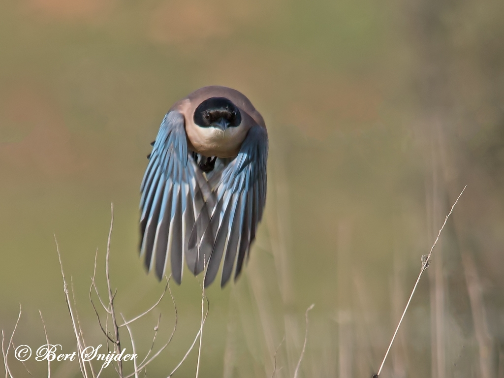 Iberian Magpie Birding Portugal