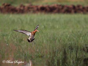 Icelandic Black-tailed Godwit Birding Portugal
