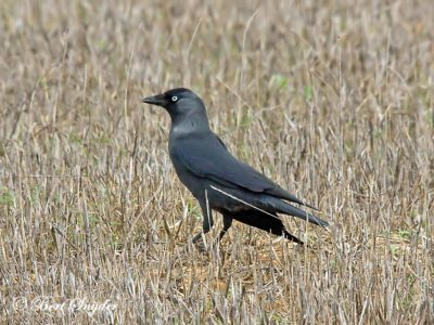 Jackdaw Birding Portugal