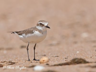 Kentish Plover Birding Portugal