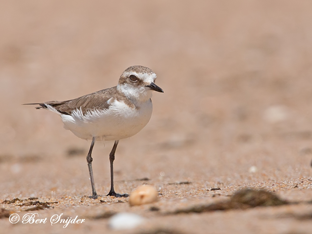 Kentish Plover Birding Portugal