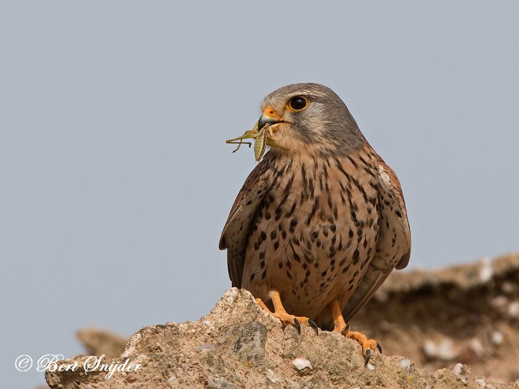 Kestrel Birding Portugal