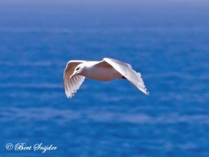 Kumlien´s Gull Birding Portugal