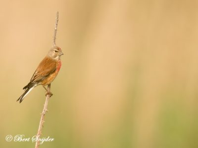 Linnet Birding Portugal