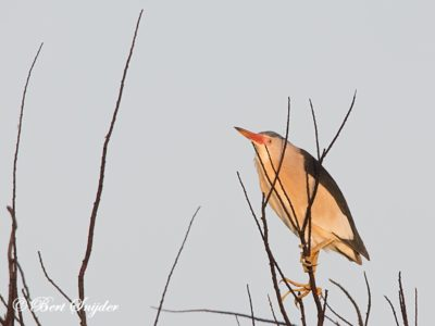 Little Bittern Bird Hide BSP3 Portugal