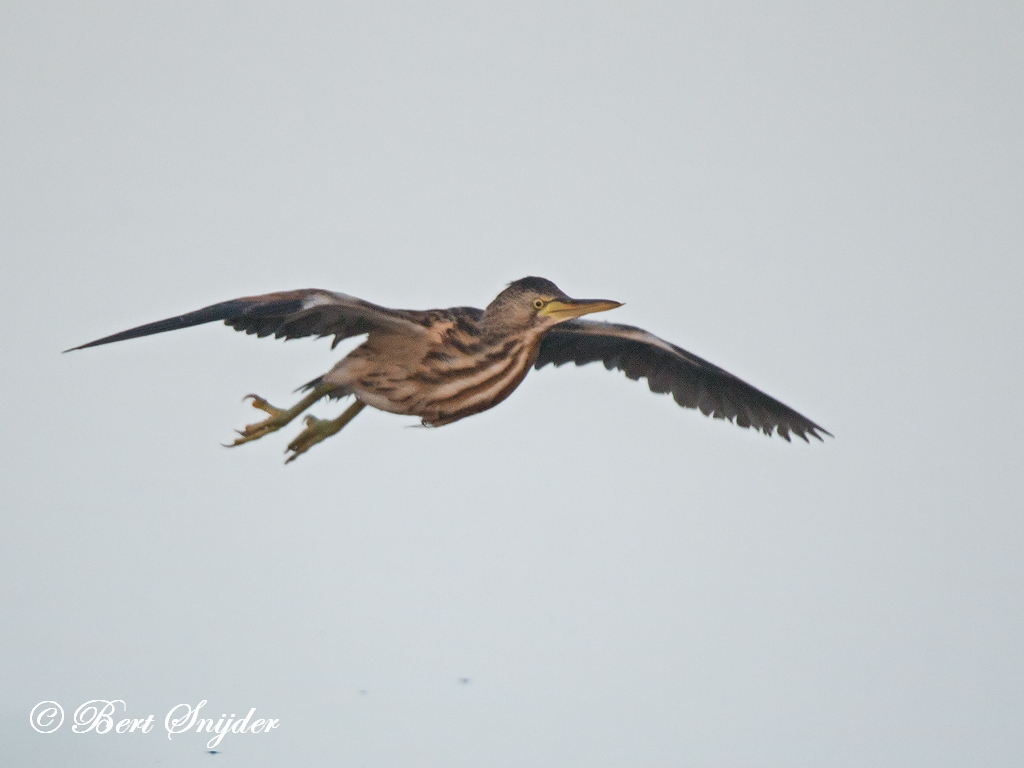 Little Bittern Birding Portugal