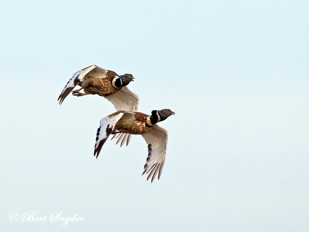 Little Bustard Birding Portugal