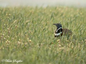 Little Bustard Birding Portugal
