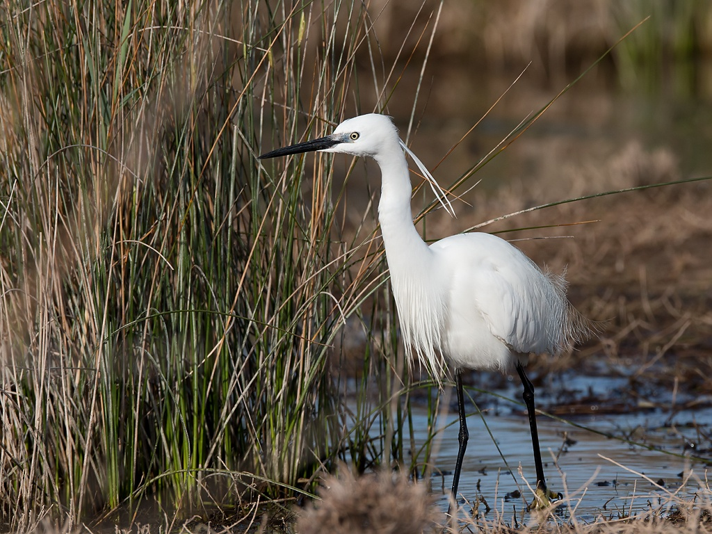Little Egret Bird Hide BSP3 Portugal