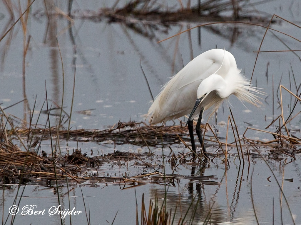 Little Egret Bird Hide BSP2 Portugal