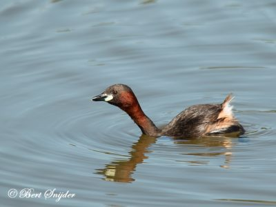 Little Grebe Birding Portugal