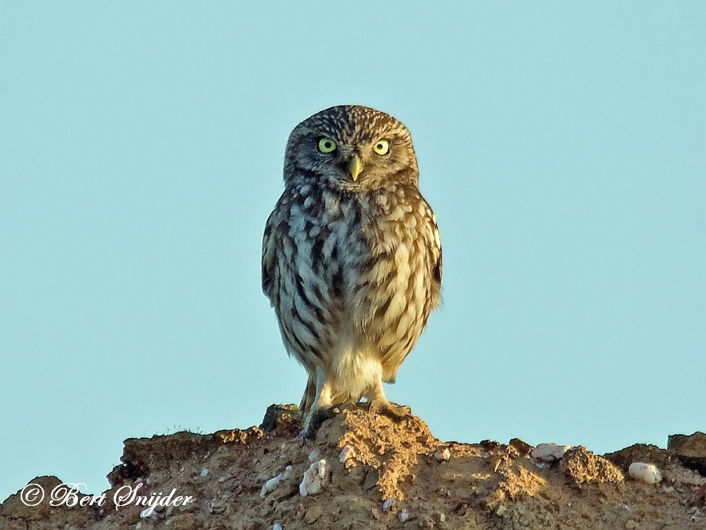 Little Owl Birding Portugal