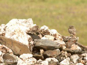 Little Owl Birding Portugal
