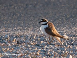 Little Ringed Plover Birding Portugal