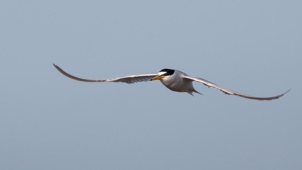 Little Tern Bird Hide BSP3 Portugal