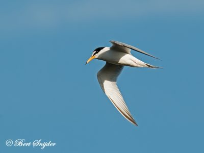 Little Tern Birding Portugal