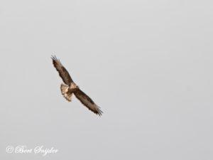 Long-legged Buzzard Birding Portugal