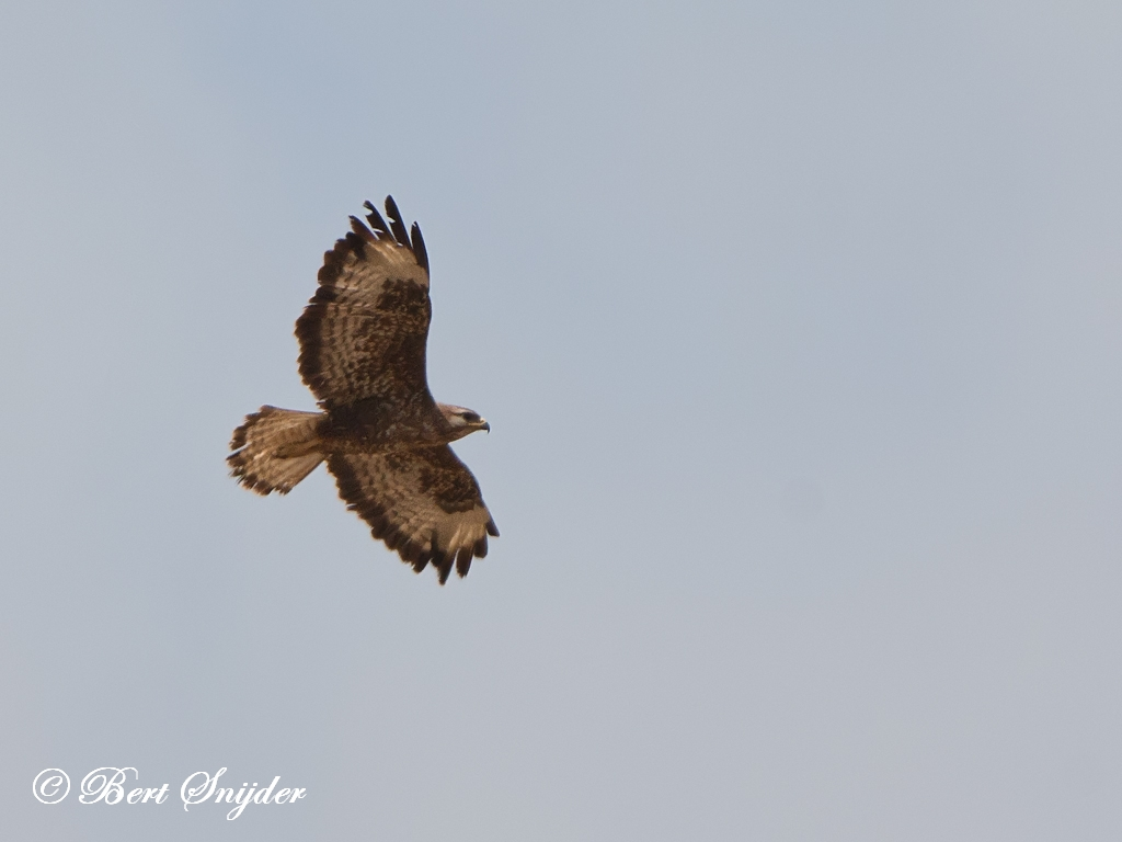 Long-legged Buzzard Birding Portugal