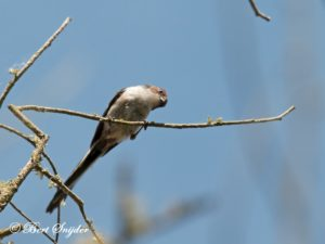 Long-tailed Tit Birding Portugal