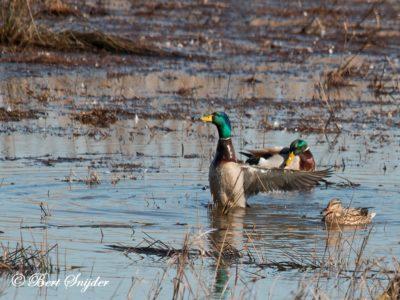 Mallard Birding Portugal
