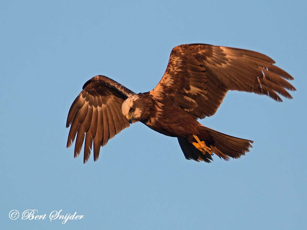 Marsh Harrier Birding Portugal