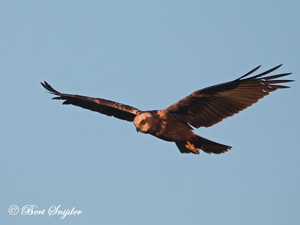 Marsh Harrier Birding Portugal