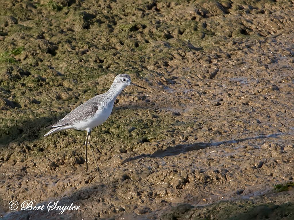 Marsh Sandpiper Birding Portugal