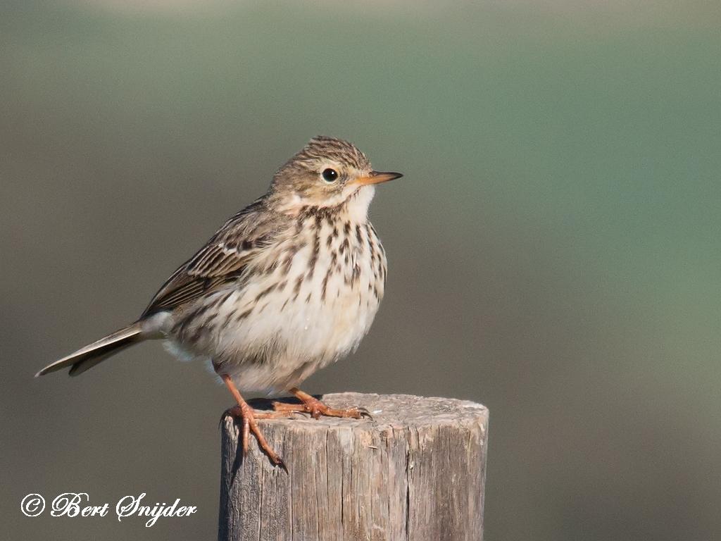 Meadow Pipit Bird Hide BSP5 Portugal