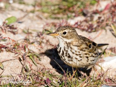 Meadow Pipit Birding Portugal