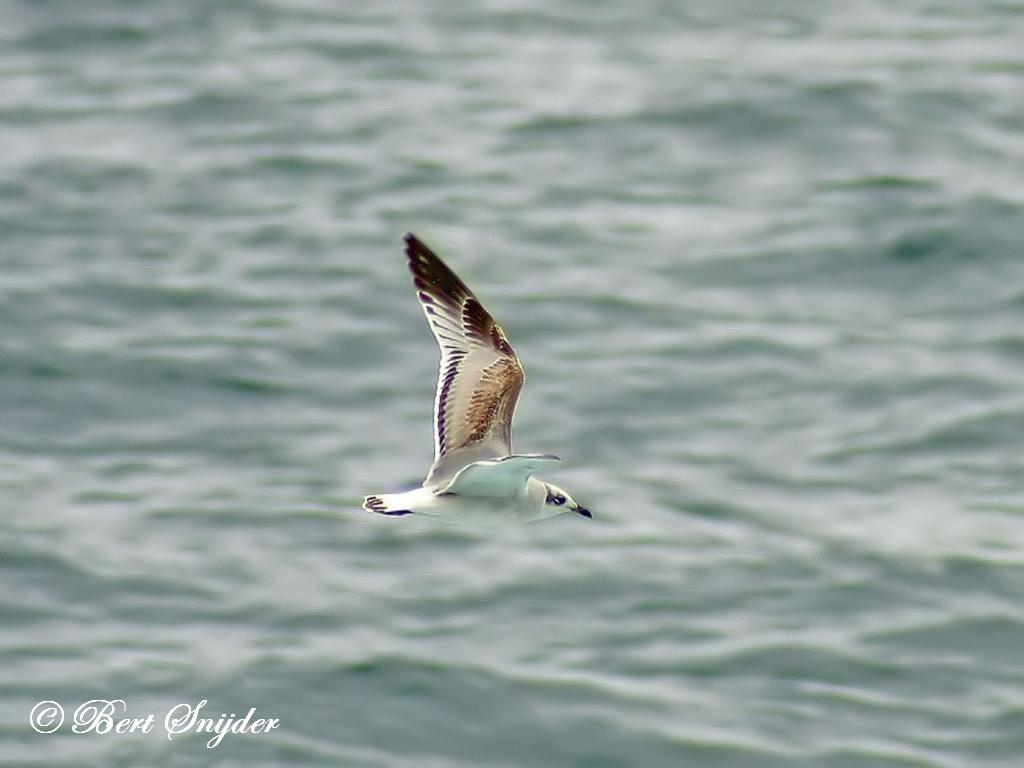 Mediterranean Gull Birding Portugal