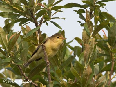 Melodious Warbler Birding Portugal