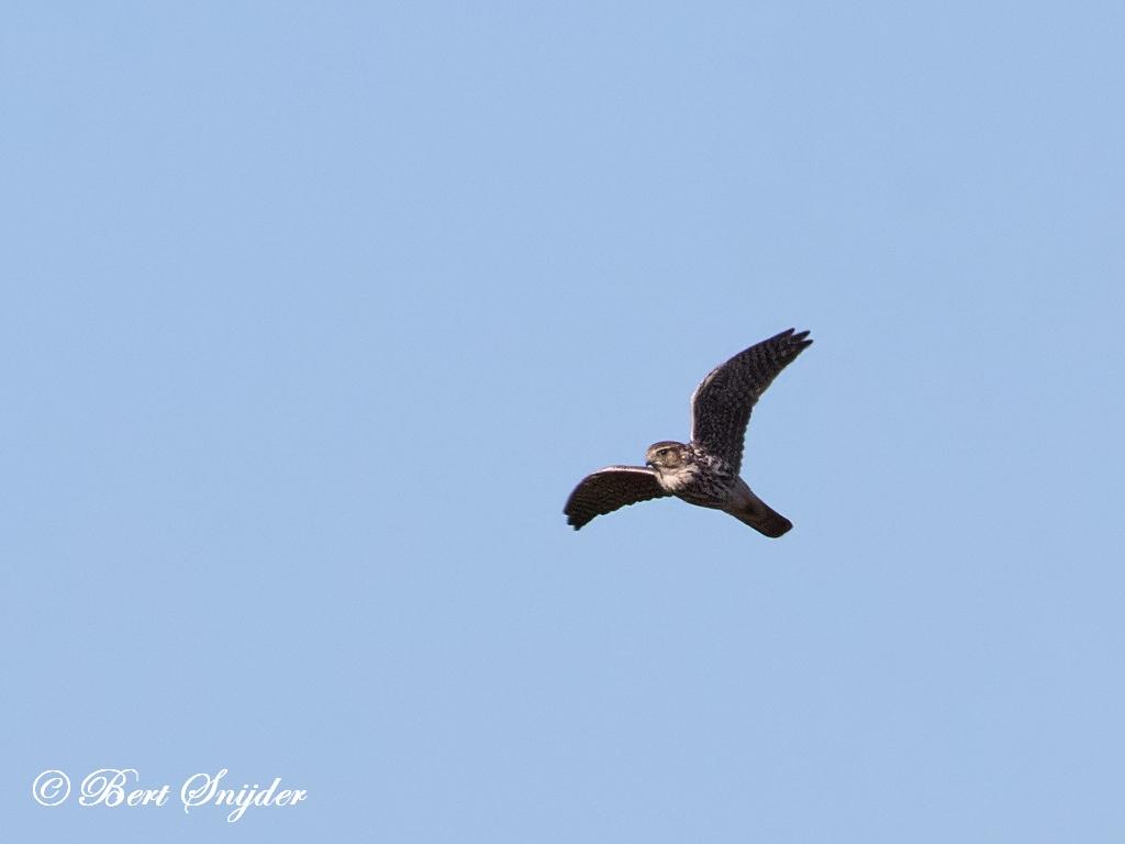 Merlin Birding Portugal