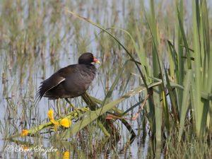Moorhen Birding Portugal