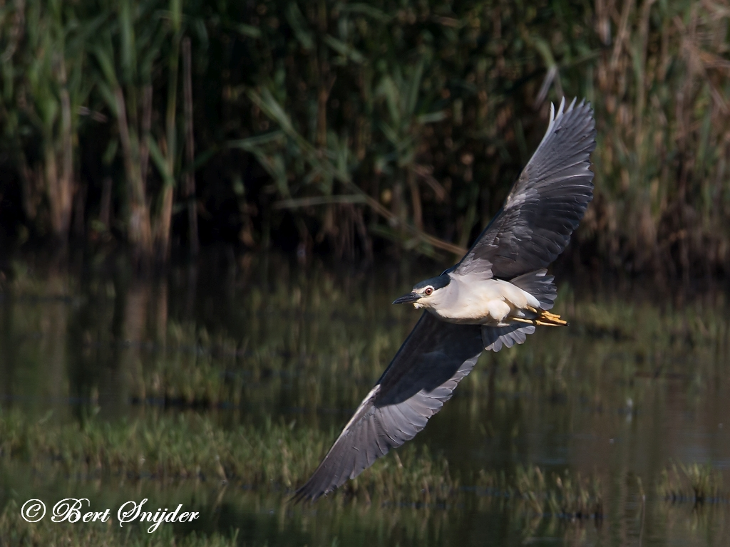 Night Heron Birding Portugal