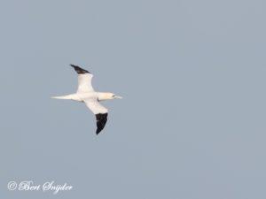 Northern Gannet Birding Portugal