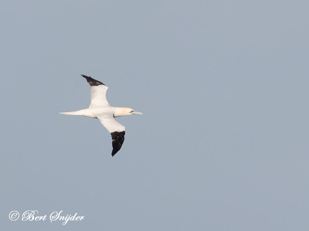 Northern Gannet Birding Portugal