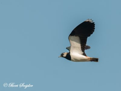 Northern Lapwing Birding Portugal