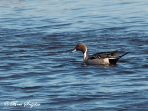 Northern Pintail Birding Portugal