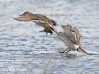 Northern Pintail Birding Portugal