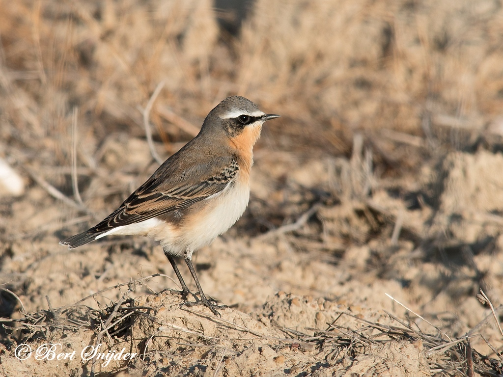 Northern Wheatear Birding Portugal