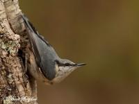 Nuthatch Bird Hide Portugal